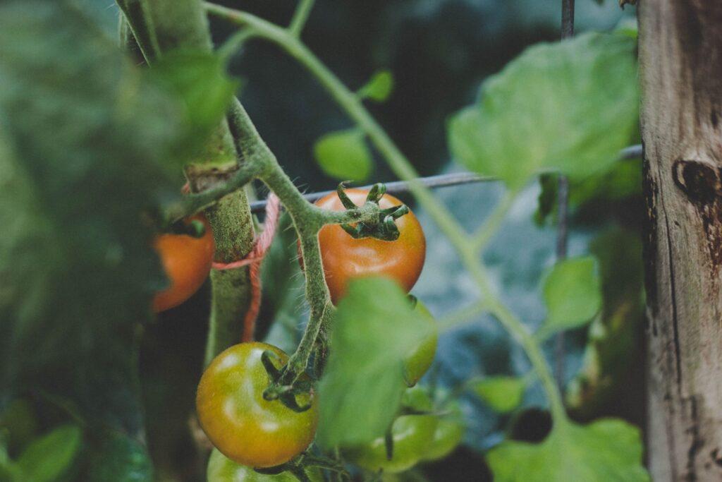 tomatenplant balkon